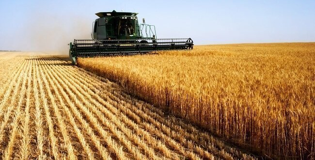 A combine harvests a cereal crop
