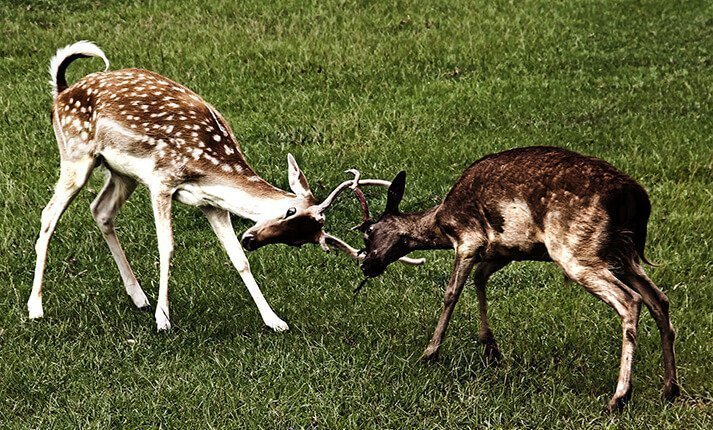 Two young deer fighting